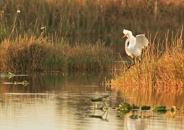 Great Egret in golden morning light 2-20150105