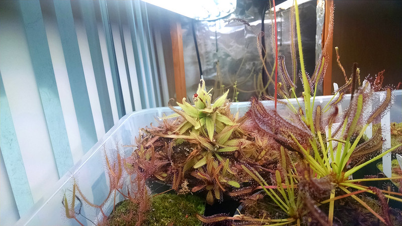 Drosera adelae flower in the tray.