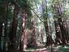 Dappled redwoods