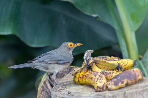 venezuela yaracuy bruzual aves birds spectacledthrush paraulataojodecandil turdusnudigenis