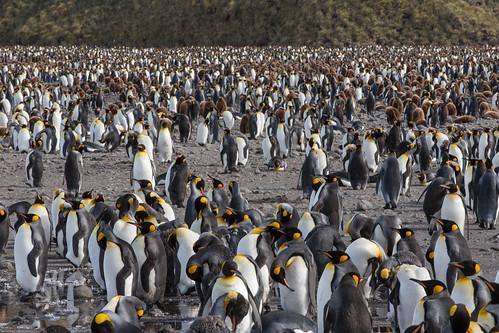 aptenodytespatagonicus kingpenguin