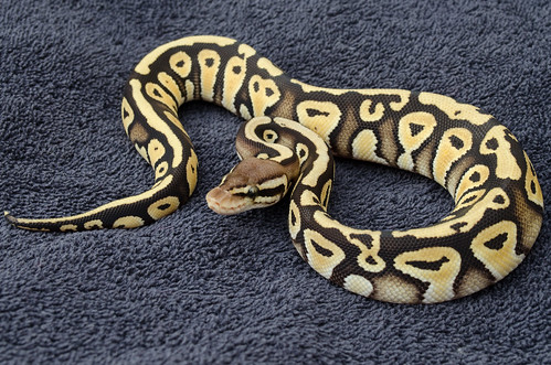 Pastel mystic ball python - photo#23