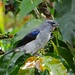 Plain-Colored Tanager -Large