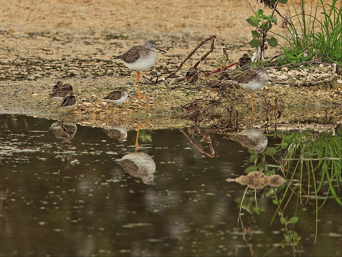 Greater and Lasser Yellowlegs with peeps 3-20141226