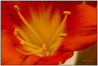 Orange Clivia Lily Flower Macro