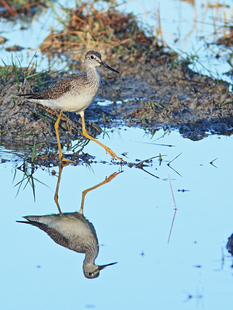 Greater Yellowlegs 04-20141111