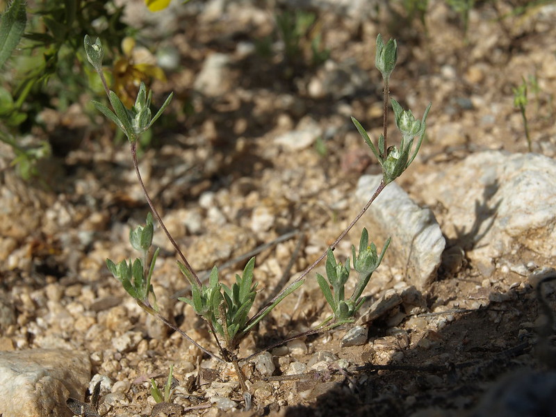 Arizona cottonrose, Logfia arizonica