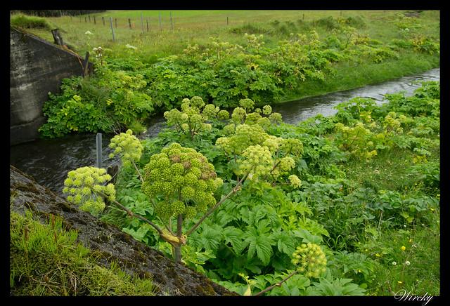 Plantas en Vík
