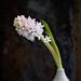 Hyacinth by louisahennessysuɹoɥƃuıʞıʌ