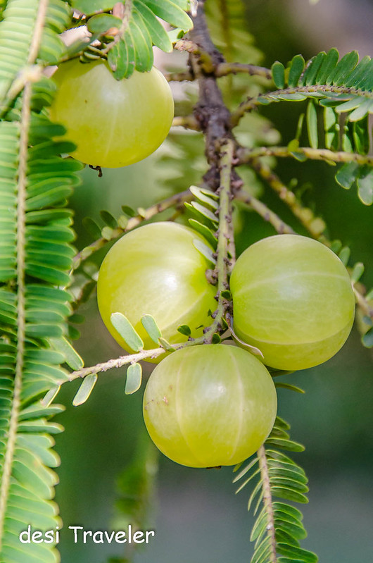 Amla fruit growing on tree
