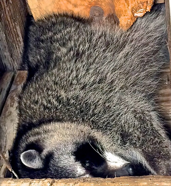 raccoon, caught in sliding panel while leaving attic for food search