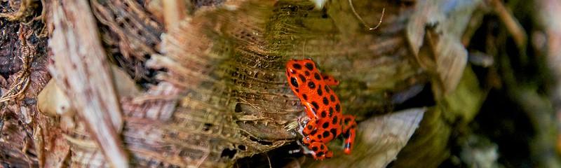 Strawberry Poison dart frog  - Bocas del Toro