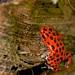 Strawberry Poison dart frogs  - Bocas del Toro