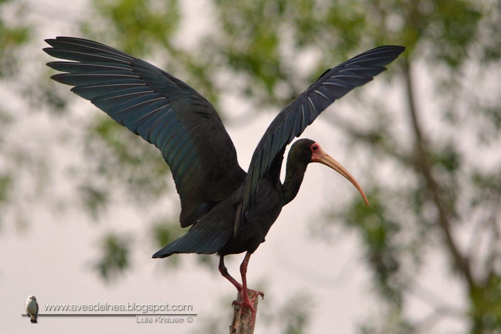 Cuervillo cara pelada ( Bare-faced Ibis ) Phimosus infuscatus