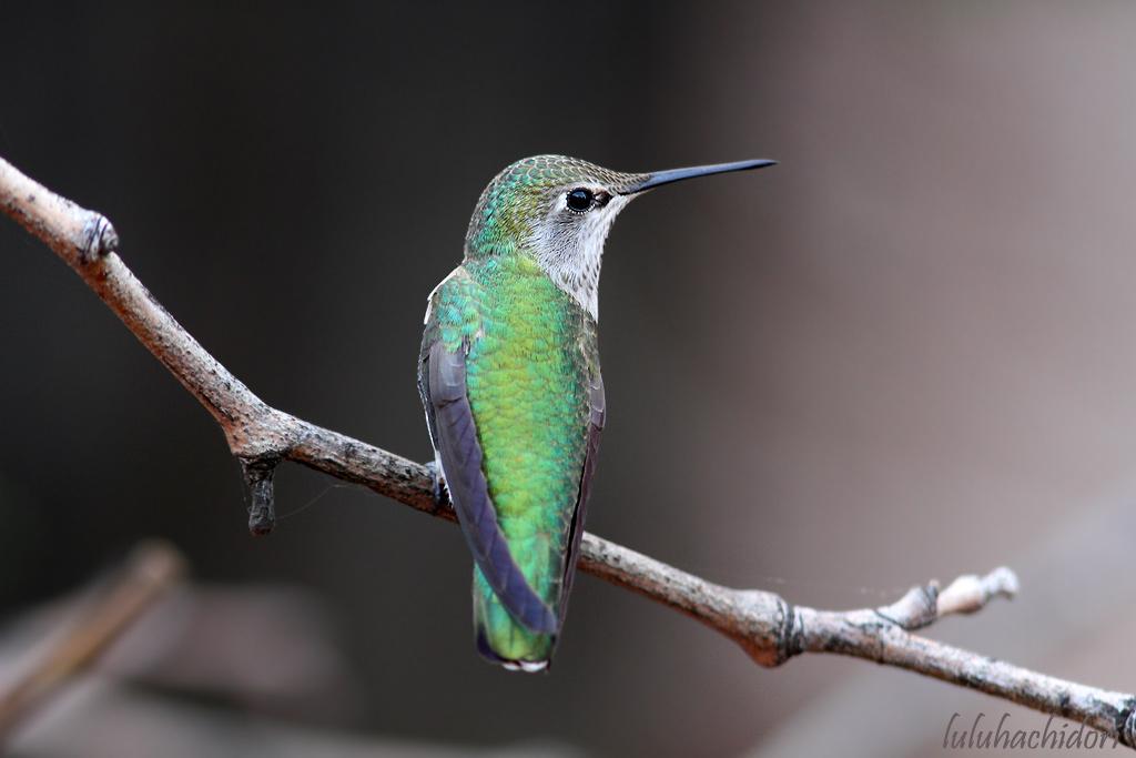 Anna's Hummingbird-111514