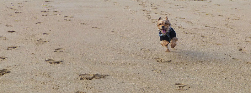Luna running on the beach