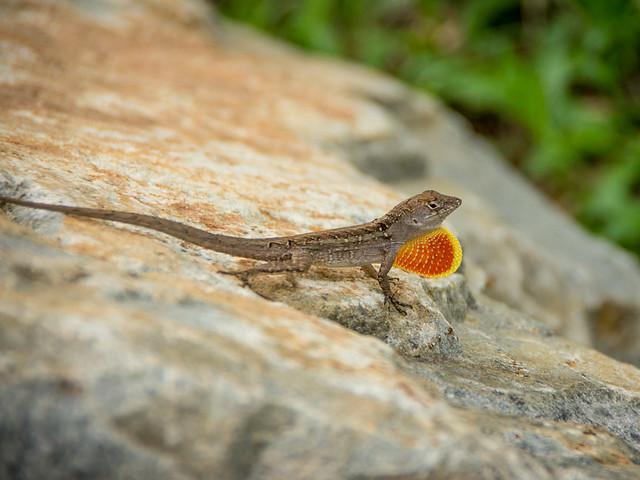 lizard with territorial throat display