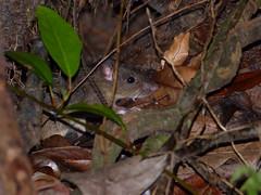 Black Rat (Rattus rattus) under the Tree House