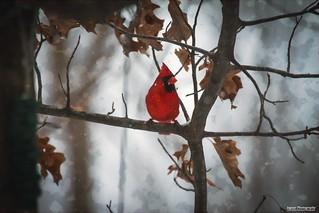 Cardinal in Wintera