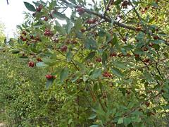 elaeagnus multiflora(0.0), flower(0.0), strawberry tree(0.0), plant(0.0), produce(0.0), food(0.0), coccoloba uvifera(0.0), evergreen(1.0), shrub(1.0), berry(1.0), leaf(1.0), tree(1.0), chokecherry(1.0), fruit(1.0), hawthorn(1.0),