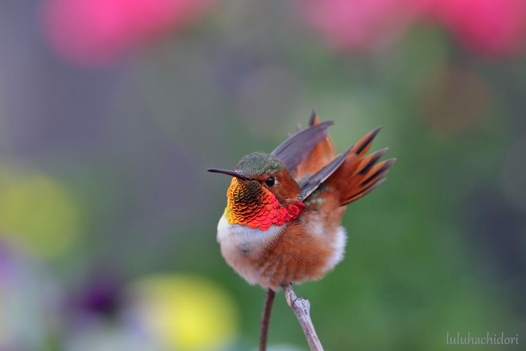 Allen's Hummingbird-113014