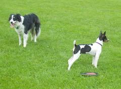 border collie(0.0), dog sports(1.0), animal sports(1.0), dog breed(1.0), animal(1.0), dog(1.0), pet(1.0), karelian bear dog(1.0), mammal(1.0),