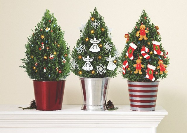 Miniature European Cypress Christmas Trees With Lights