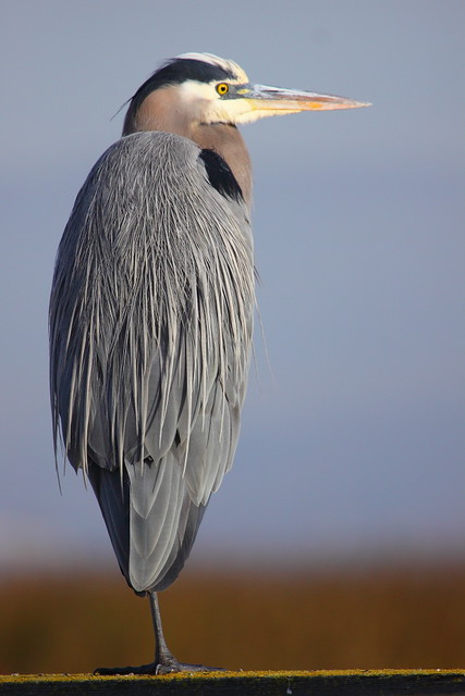 IMG_9516 Great Blue Heron, Don Edwards San Francisco Bay NWR