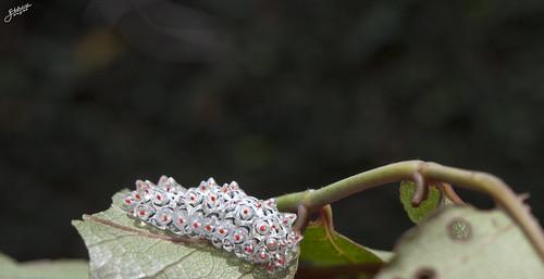 Dalceridae
