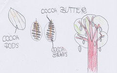Montgomery Primary: what a cocoa tree looks like