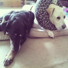 Love!! #dogstagram #seniordog #ilovemyseniordog #dobermanmix #labmix #ilovebigmutts #ilovemydogs