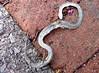 snake skin, @minnetrista