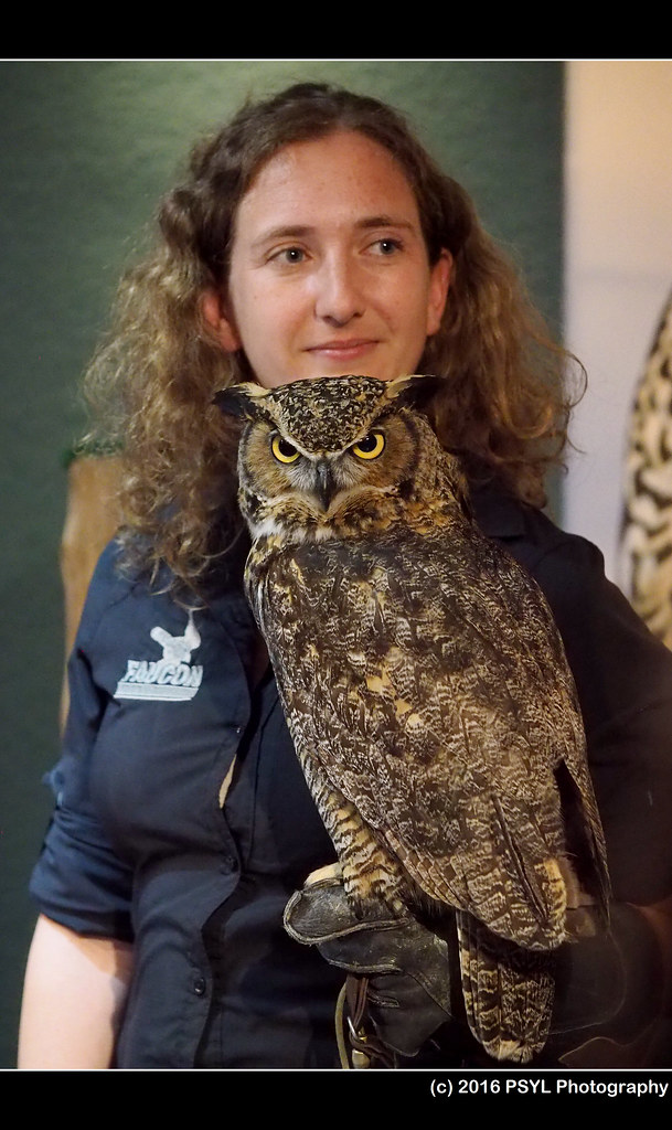 Captive Great Horned Owl (Bubo virginianus)