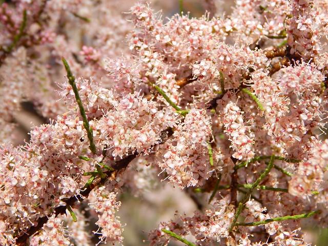 куст, цветущий миллионом розовых цветочков | ХорошоГромко.ру