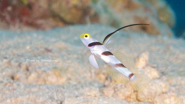 こちらもめちゃんこちっちゃいヒレナガネジリンボウ幼魚