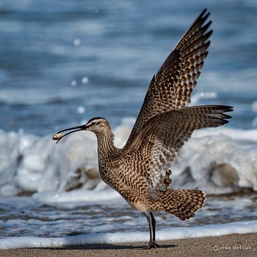 ocean california bird beach water sand nikon ngc d750 avian sandcrab whimbrel 14extender montereypeninsula 850mm salinasrivernwr