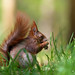 Red Squirrel Spring 2016
