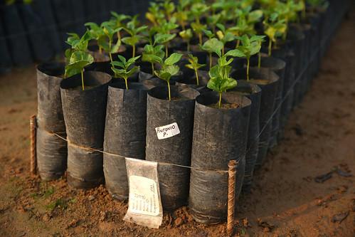 Starbucks donará un árbol de café por cada taza de café Chiapas que se venda en los EE.UU. y México durante el Día Nacional del Café