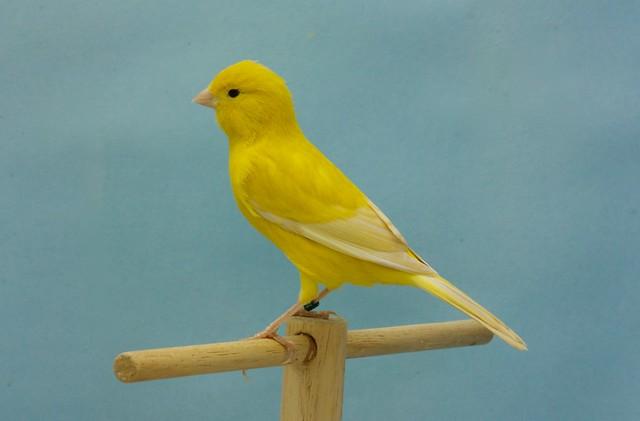 Jaspe S.D. isabela amarillo intenso