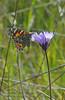 Painted Lady Butterfly on Purple Poppy TWBF