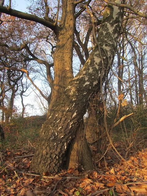 Bäume, engumschlungen