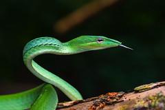 Ahaetulla prasina, oriental whipsnake - Kaeng Krachan National Park