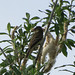 Small photo of Alder Flycatcher