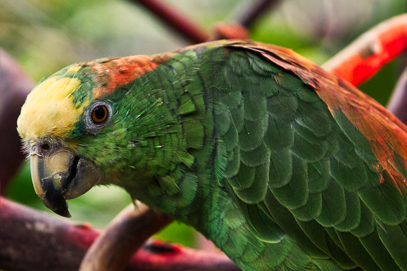 Yellow Headed Amazon Parrot
