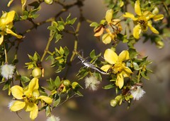 Cool Bug on Creosote Bush