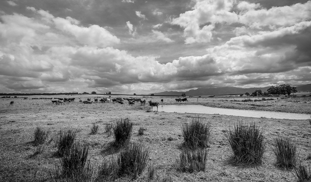 cows, clouds, dam-  all the ingredients for a landscape