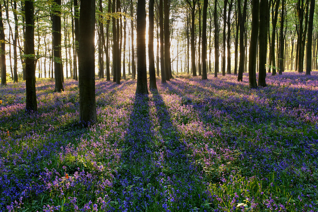 Bluebells, Beech Forest