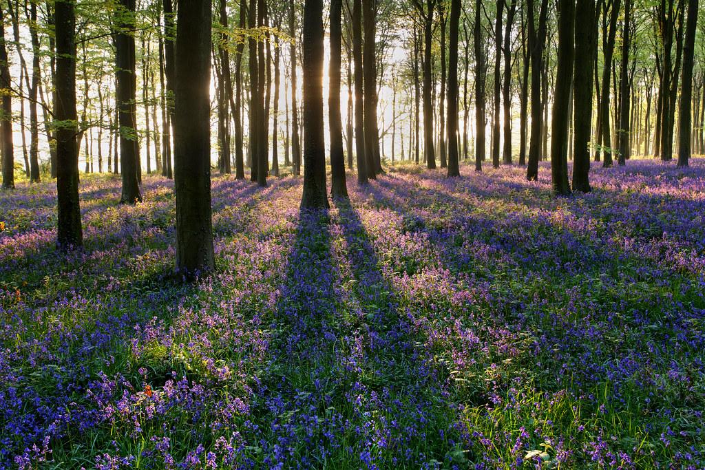 Bluebells, Beech Forest