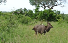 adventure(0.0), water buffalo(0.0), wildebeest(0.0), herd(0.0), elk(0.0), cattle-like mammal(1.0), plain(1.0), horn(1.0), grazing(1.0), fauna(1.0), kudu(1.0), meadow(1.0), jungle(1.0), pasture(1.0), savanna(1.0), grassland(1.0), safari(1.0), wildlife(1.0),