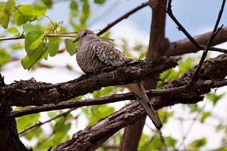 Fogo-apagou/Scaled Dove (Columbina squammata)